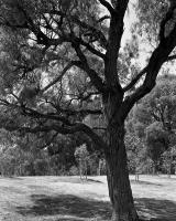 Trees alongside Ross Straw Field, within construction zone. Silver gelatin photograph