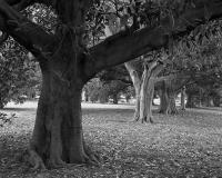 Moreton Bay Figs, Macarthur Road, within construction zone. Silver gelatin photograph
