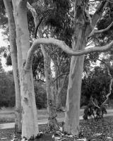 Lemon scented gums, Elliott Avenue, within construction zone. Silver gelatin photograph