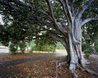 Moreton Bay Fig at tram stop twenty two, within construction zone. Chromogenic photograph