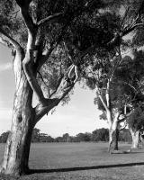 Sugar gums, Brens Oval, within construction zone. Silver gelatin photograph