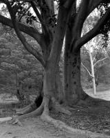 Moreton Bay Fig, Anzac Hall, Brens Drive. Silver gelatin photograph