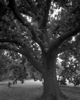 Oak tree opposite Urban Camp, within construction zone. Silver gelatin photograph