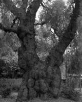 Peppercorn tree, Gatehouse Street. Silver gelatin photograph