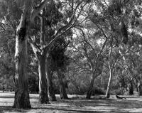 River red gums near Australian Native Garden, within construction zone. Silver gelatin photograph